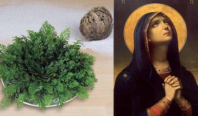 Trandafirul Maicii Domnului, un miracol al naturii care protejează familia şi locuinţa.