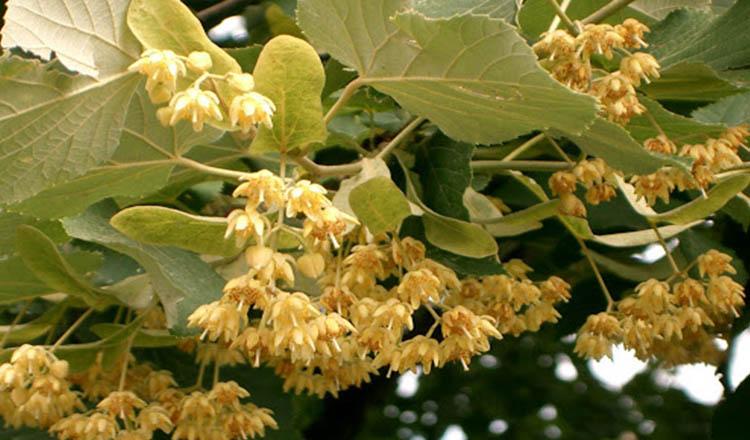Copacul care vindeca suflete. Beneficiile arborelui de tei puterea lui vindecatoare atat pentru trup dar si pentru suflet