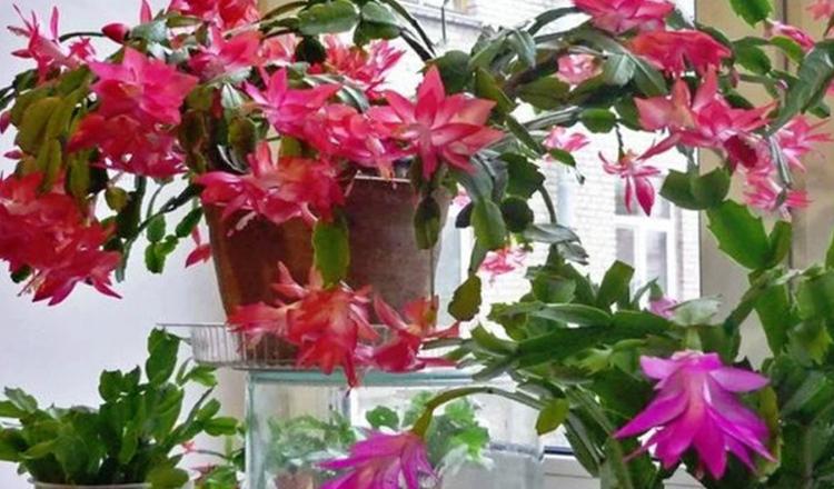 Cactusul de Craciun va fi plin de flori daca urmati cateva sfaturi simple